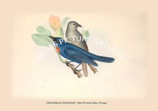 TANAGRELLA RUFICOLLIS - Red-Throated Blue Tanager